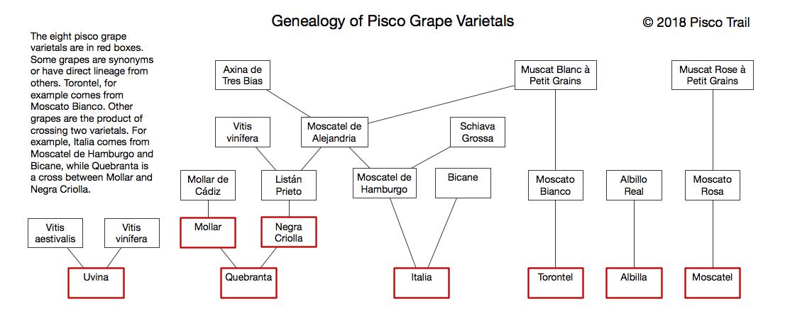 Uvas de pisco de ADN, uvas pisco peruanas, uvas de árbol genealógico