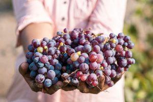 pisco grapes, pisco certificate